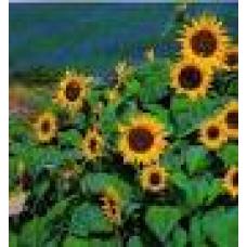 Sunspot Auringonkukka 2 kg
